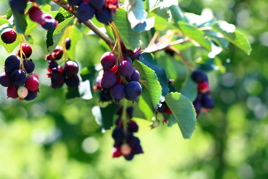 Saskatoon berries on a branch