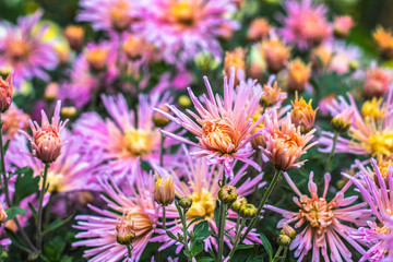 Natural background of bright purple chrysanthemums. Beautiful floral bouquet.