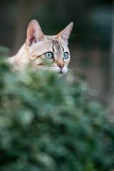 Bengal Cat hiding behind Bush