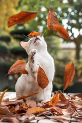 White Bengal Kitten and falling Leafs