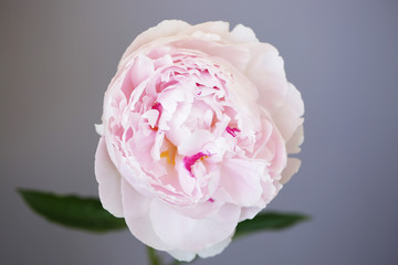 6 445 Results For Light Pink Peonies In All