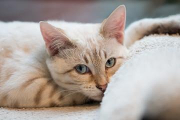 White Lynx Bengal Kitten relaxing