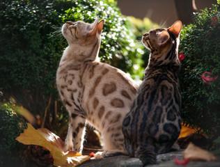 Bengal Cats Outdoor