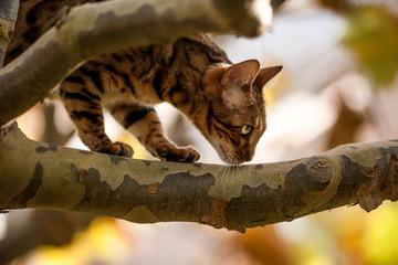 Bengal Cat on Tree