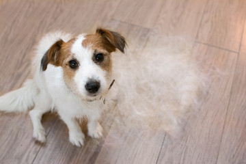 FURRY JACK RUSSELL DOG, SHEDDING HAIR DURING MOLT SEASON, LOOKING UP WITH SAD EXPRESSION.