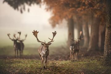 Deer in misty Fall Forest