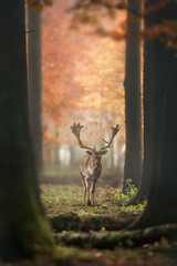 Deer in misty Autumn Forest