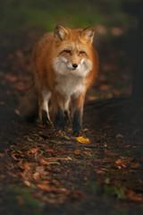 Red Fox at Fall Morning