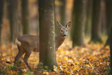 Spoed Fotobehang Ree European Roe Deer hiding in autumnal Forest