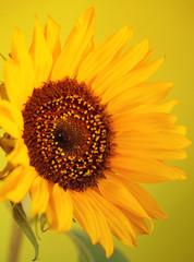 Beautiful sunflower close up macro photo on colored background