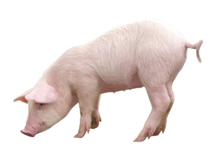 Pig with white background
