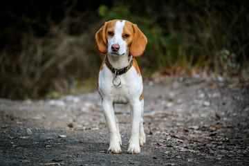 Chien de chasse, Beagle