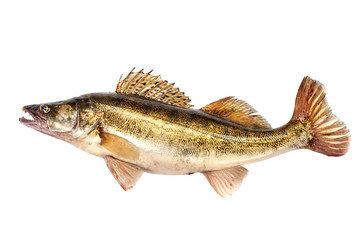Raw Fresh Zander or Pike Perch Fish, isolated on a white background. Close-up.
