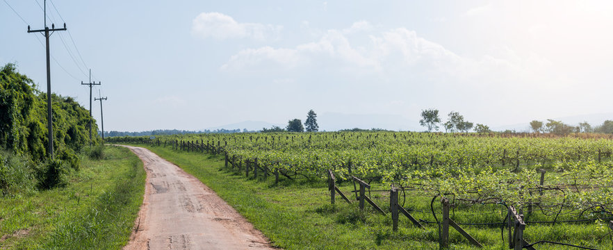 Vineyard landscape in Thailand