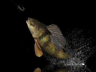 Perch fish catched in black background with splashes hooked by fly fishing lure bait 3d render