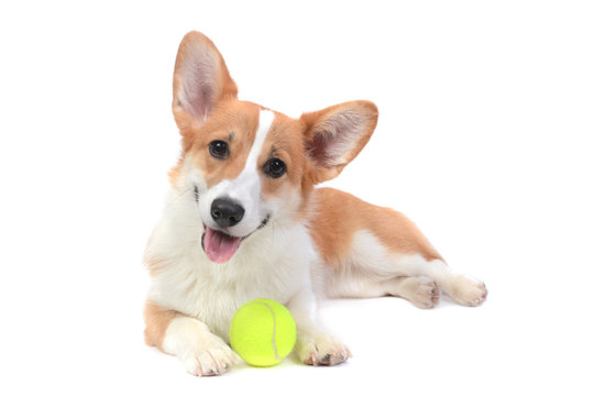 Pembroke welsh corgi with a ball isolated white background