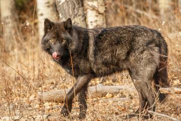Big black wolf looking for food, Canada