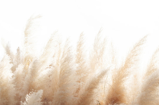 Abstract natural background of soft plants (Cortaderia selloana) moving in the wind. Bright and clear scene of plants similar to feather dusters.