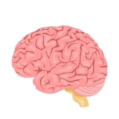 Human anatomy. Brain, internal organ. Medicine and health. Flat style. Cartoon.