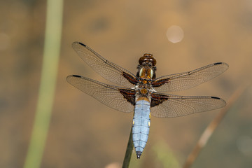 Male broad-bodied chaser (Libellula depressa) sits on a stalk