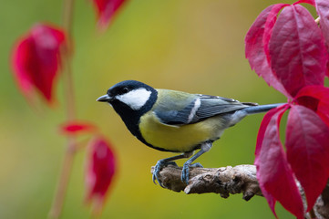 TheGreat Tit,Parus major, is sitting in color environment of wildlife Wall mural