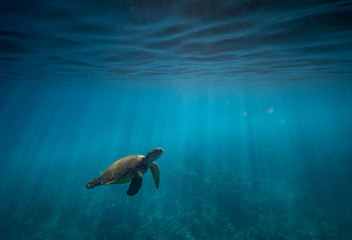 Hawaiian Green Sea Turtle Surfacing to Breathe