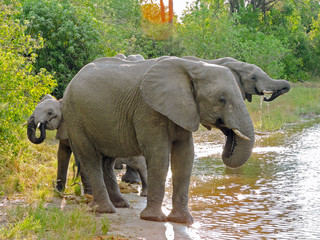 Elephant Family at Watering Hole