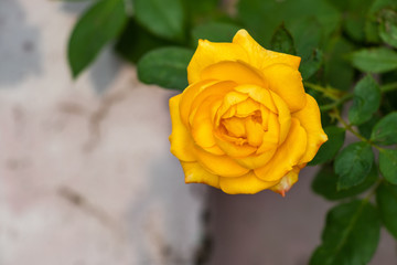 Single blooming yellow rose in the garden, closeup view