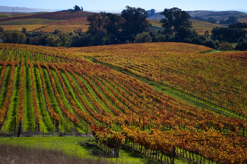 Wall Murals Vineyard Sonoma vineyard in autumn