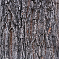 texture of the bark of an elm tree