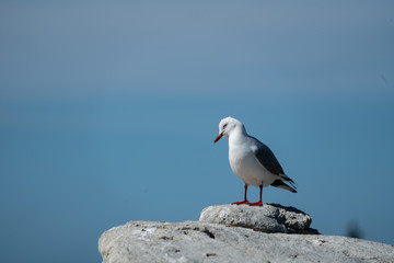 Silver Seagull on a rock