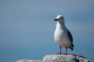 Silver Seagull closeup 2
