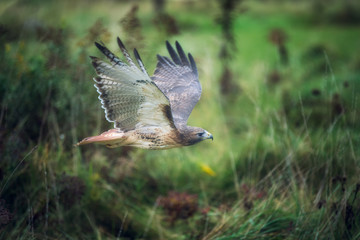Fototapete - Red Tail Hawk