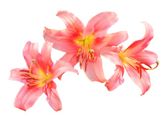Delicate pink lily flowers close up  isolated on a white background