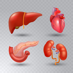 Vector internal organs realistic icon set in realistic style.