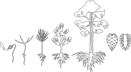 Coloring page with Pine tree life cycle. Stages of growth from seed to mature pine tree with cones