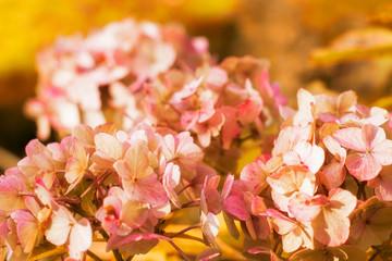 Fond de hotte en verre imprimé Hortensia Last blooming hydrangea in early fall.