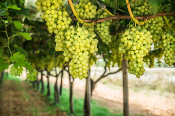 Large ripe clusters of white table grapes on the vine.