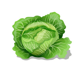 White cabbage. Vector illustration.
