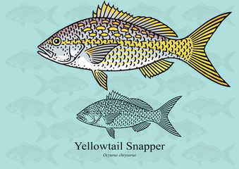 Yellowtail Snapper. Vector illustration with refined details and optimized stroke that allows the image to be used in small sizes (in packaging design, decoration, educational graphics, etc.)