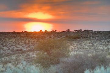 Fototapeta KGALAGADI Trans-frontier Park. Dawn views of the Kalahari desert landscape, South Africa