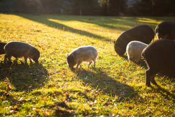 Homemade wild boar walking on the Sunny green meadow. Little pig, mini pig brightly lit by the sun, close-up