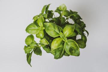 Green basil in pot