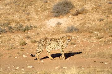 DESERT CHEETAH (Anynonix jubatus) in the Kalahari desert, South Africa
