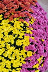 Bouquets de chrysanthèmes