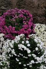Chrysanthèmes blancs et mauves dans un cimetière