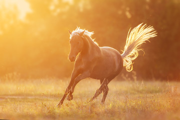 Wall Mural - Horse free run at sunset light