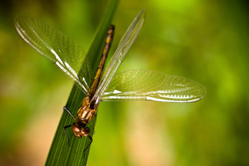 Brown dragonfly with spread wings closeup sitting on a green diagonal grass leaf with intense bright green background out of focus due to shallow depth of field macro photo.
