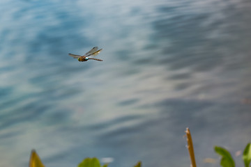 Dragonfly in flight over water in Russia