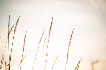 Wonderful landscape from the feather grass field in the evening sunset silhouette. serene feeling concept. countryside scenery atmosphere. image for background, wallpaper and copy space. Fototapete